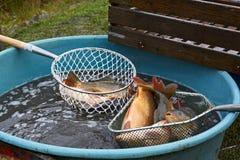 鲤鱼carpio公用鲤属查出的白色 库存图片