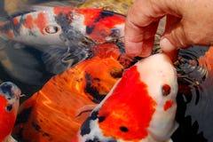 鲤鱼koi 图库摄影
