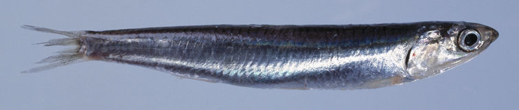 鲥鱼 库存图片