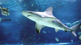 鲨鱼和鱼游泳 影视素材