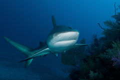 鲨鱼在海洋 免版税图库摄影