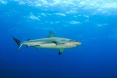 鲨鱼在海洋 图库摄影