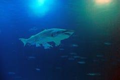 鲨鱼在Oceanografic在巴伦西亚,西班牙 免版税库存照片