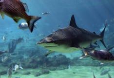 鲨鱼攫夺者 库存照片
