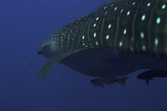 鲨鱼水下的鲸鱼 免版税图库摄影