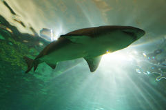 鲨鱼游泳 免版税库存图片