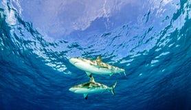 鲨鱼潜水 库存照片