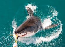 鲨鱼白色 库存图片