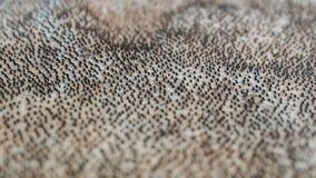 鲨鱼皮肤, Bjarnarhöfn鲨鱼博物馆在冰岛 免版税库存图片