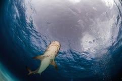 鲨鱼老虎 免版税库存图片