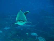 鲨鱼老虎 库存图片