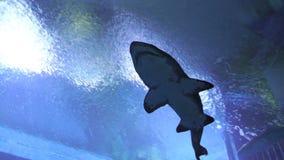 鲨鱼鱼在水中 影视素材