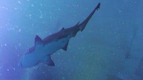鲨鱼鱼在水中 股票录像