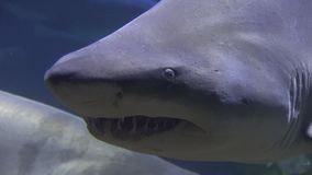 鲨鱼,海生物,鱼,动物 股票视频