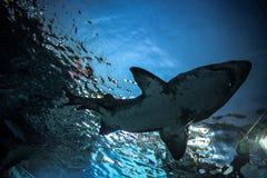 鲨鱼水下在自然水族馆 免版税库存照片
