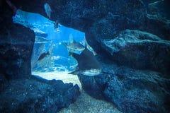 鲨鱼水下在自然水族馆 图库摄影