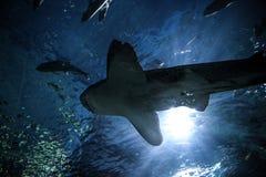 鲨鱼水下在自然水族馆 免版税库存图片