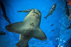 鲨鱼水下在自然水族馆 库存照片