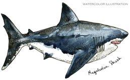鲨鱼 水下的生活水彩例证 动物背景美好的迷离上色克罗地亚重点foto章鱼octpous海运多种非常 库存例证