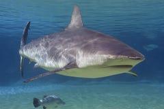鲨鱼 图库摄影