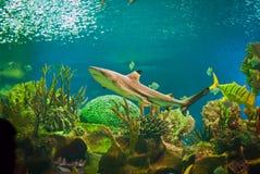 鲨鱼 免版税库存图片