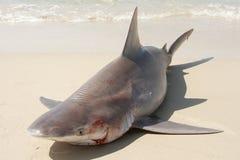 鲨鱼shure 免版税图库摄影