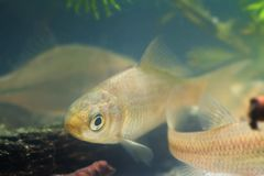 鲫属gibelio、普鲁士人的鲤鱼或者gibel鲤鱼,在欧洲群落生境水族馆的少年淡水鱼,在水面下 免版税图库摄影