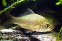 鲫属gibelio,普鲁士人的鲤鱼或gibel鲤鱼,普遍和非常共同的野生淡水鱼,群落生境水族馆 库存照片