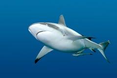鲫鱼水下鲨鱼的游泳 免版税库存照片
