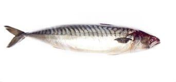 鲭鱼生鱼  图库摄影