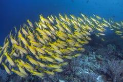 鲱的攫夺者横跨珊瑚礁的鱼小河 库存图片