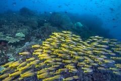 鲱的攫夺者横跨珊瑚礁的鱼小河 免版税库存照片