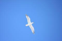 鲱鱼/绿灰色杂种鸥在天蓝色的蓝天 免版税图库摄影
