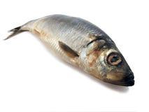 鲱鱼 库存照片