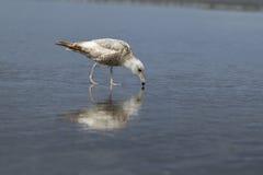 鲱鸥在搜寻食物的海滩走 免版税库存图片