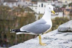 鲱鸥在罗马 库存照片