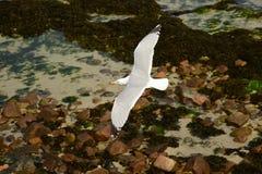 鲱鸥在飞行中在海岸 图库摄影