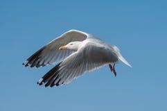 鲱鸥(鸥属argentatus)在飞行中 库存图片