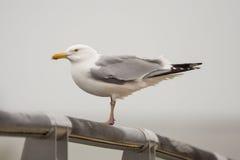 鲱鸥 库存照片