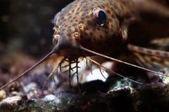 鲶鱼三个对口须宏指令视图 Synodontis nigriventris blotched颠倒的非洲食肉动物的鱼,棕色皮肤 库存照片