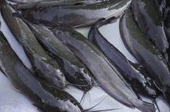 鲶鱼在市场上 免版税库存图片
