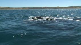 鲸鱼。半岛瓦尔德斯,阿根廷 股票录像
