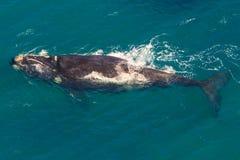 鲸鱼南非 免版税库存照片
