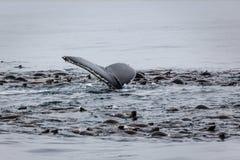 鲸鱼和海狮哺养 免版税图库摄影