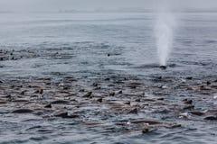 鲸鱼喷口特写镜头在中间海狮荚的 免版税库存图片