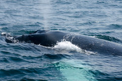鲸鱼喷口 库存照片