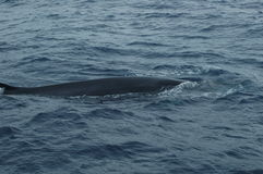 鲸鱼在亚速尔群岛群岛 免版税库存图片