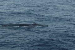 鲸鱼在亚速尔群岛群岛 免版税图库摄影