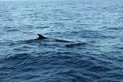 鲸鱼在亚速尔群岛群岛 库存照片
