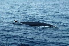 鲸鱼在亚速尔群岛群岛 图库摄影